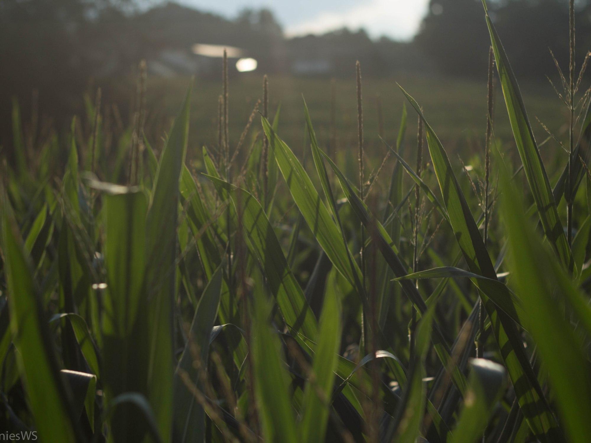 Corn Field, Winston-Salem, TowniesWS.com