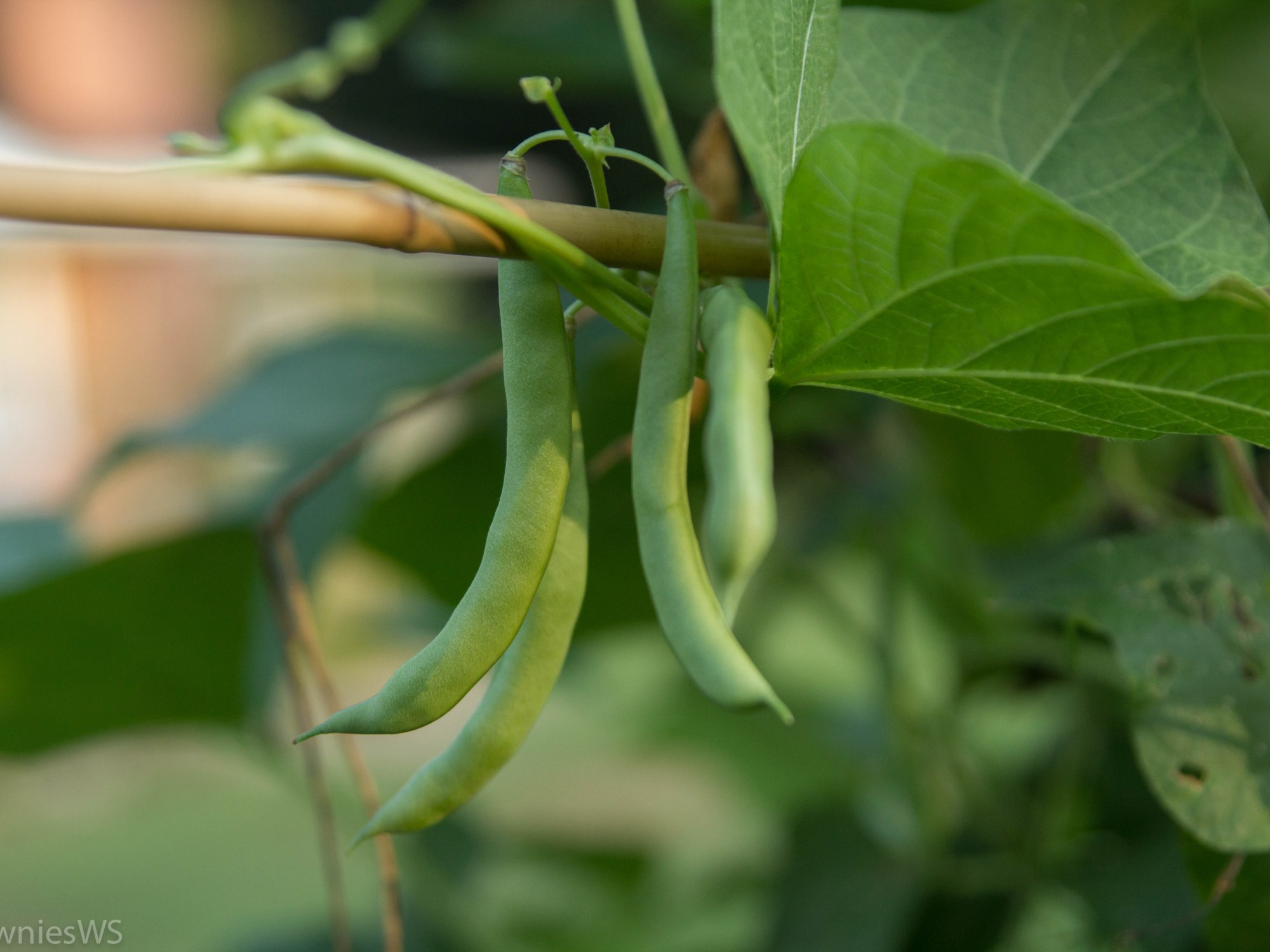 String Beans_TowniesWS.com