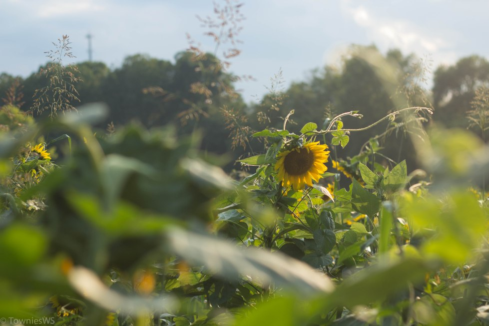 Sunflowers, Winston-Salem, photo by Andrea Littell