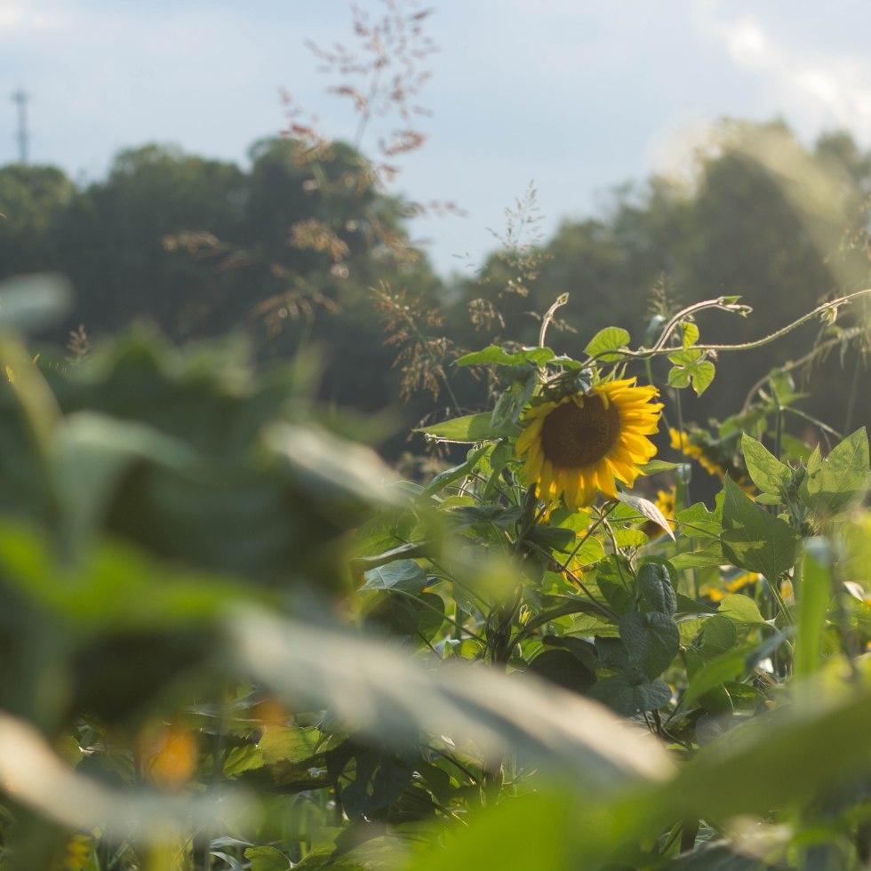 Sunflowers, Winston-Salem, photo by Andrea Littell