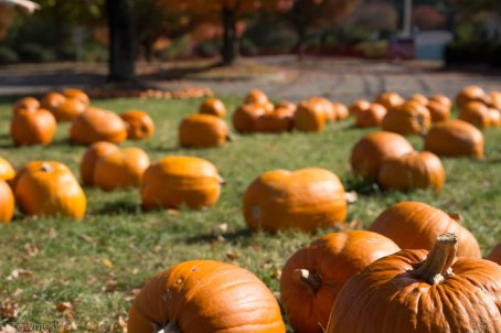 Maple Springs Pumpkin Patch, TowniesWS
