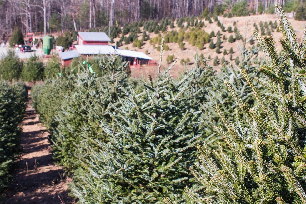 Papa Goats Choose and Cut Christmas Tree Farm